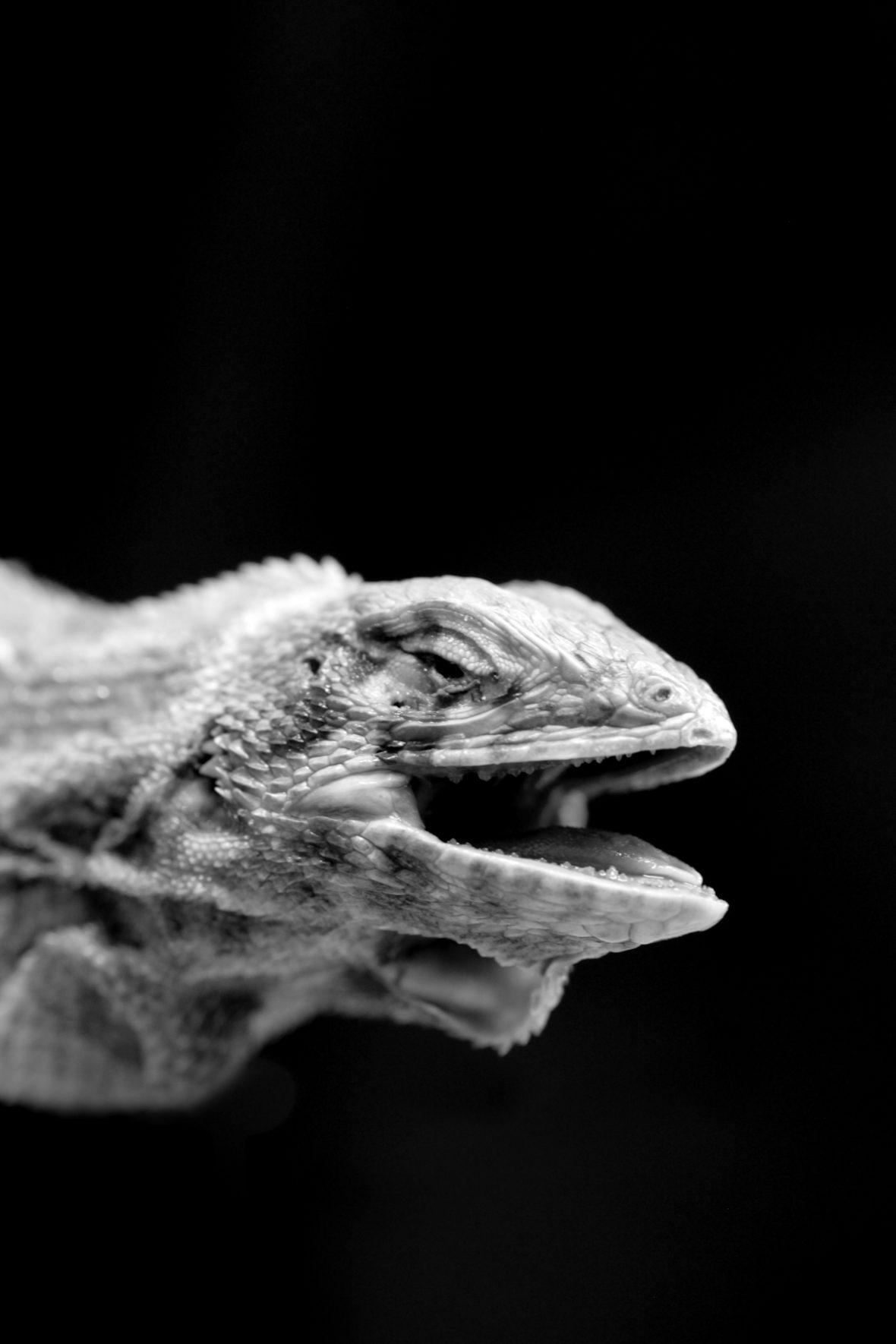 Leiocephalus herminieri ist eine ausgestorbene Echsenart aus der Familie der Glattkopfleguane. Benannt ist sie nach dem französischen Naturforscher Félix Louis L'Herminier. Es gibt fünf Museumsexemplare, von denen drei in Paris, eines in London und ein weiteres in Leiden aufbewahrt werden. Lebensweise, Aussterbeursachen und genauer Zeitpunkt des Aussterbens von Leiocephalus herminieri sind unbekannt.
