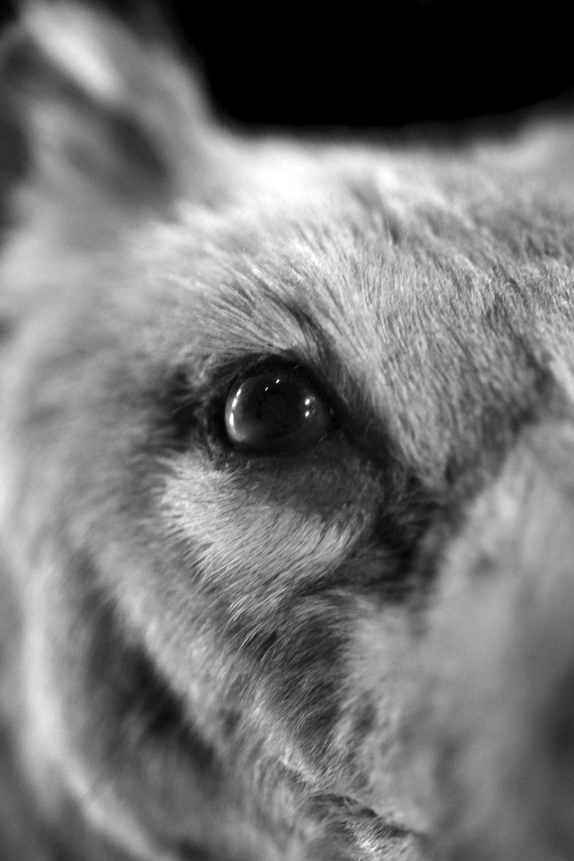 Der Beutelwolf, auch als Tasmanischer Tiger bekannt, war das größtes fleischfressendes Beuteltier in Australien.  Der letzte Beutelwolf starb 1936 im Zoo von Tasmanien.