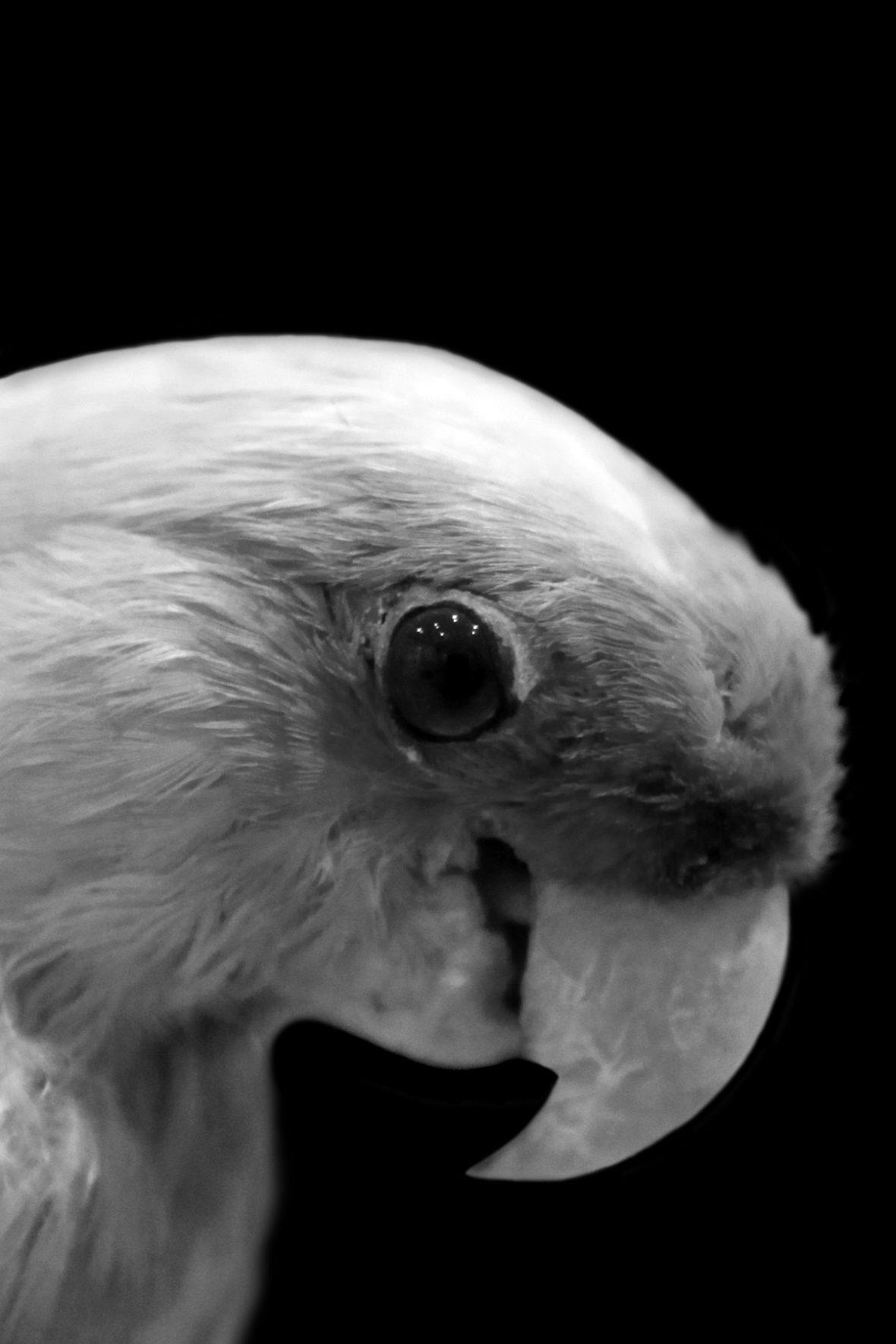 Einst trat der Karolinasittich, eine nordamerikanische Papageienart, massenhaft in Schwärmen auf. Der letzte Karolinasittich starb 1918 im Zoo von Cincinnati, kurz nach dem Tod seiner Partnerin, mit der er 30 Jahre zusammen lebte.