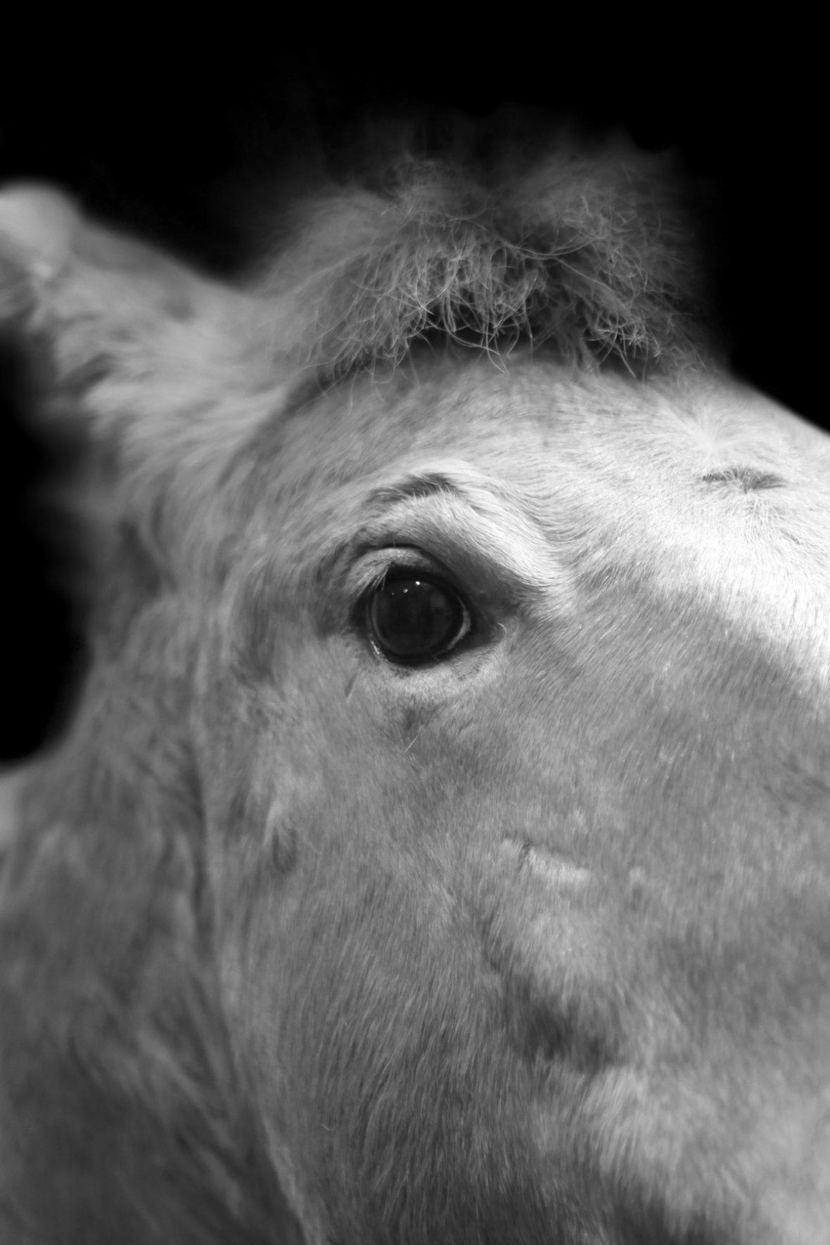 Das letzte freilebende Przewalski-Pferd wurde 1969 gesehen. Es blieb bisher nur deshalb erhalten, weil einige Großgrundbesitzer und Zoos die letzte Wildpferdart in Gefangenschaft weiter züchteten. Heute gibt es wieder ca. 2000 Individuen.
