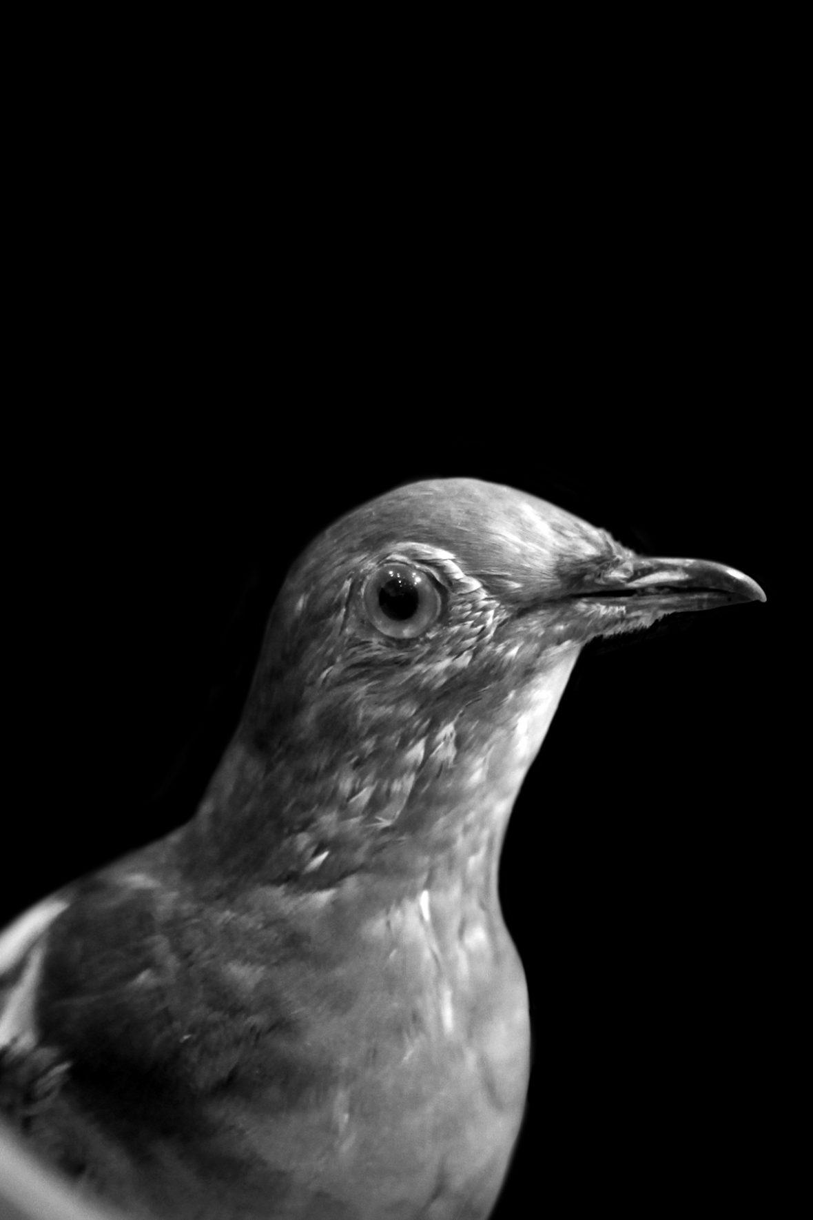 Die Wandertaube zählte noch Anfang des 19. Jahrhunderts mit 3-5 Milliarden Exemplaren zu den häufigsten Vogelarten der Welt. Der letzte wild lebende Vogel wurde 1900 abgeschossen.